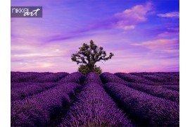 Boom in Lavendel veld bij zonsondergang