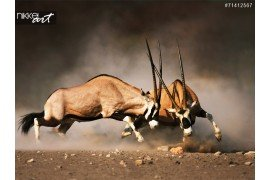 Gemsbok strijd