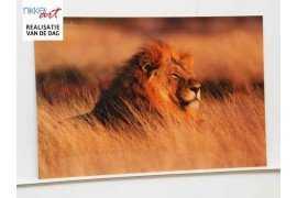 Plexiglas Leeuw