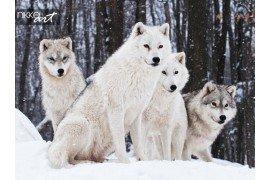 Een kudde van Arctic Wolves