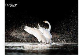 Witte Zwaan met reflectie op water