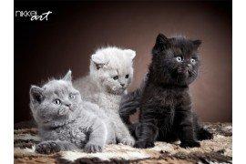 Drie Britse kort haar kittens