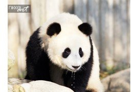 Portret van giant panda bear