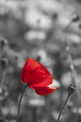 Foto op Canvas Poppy Poppy in zwart-wit