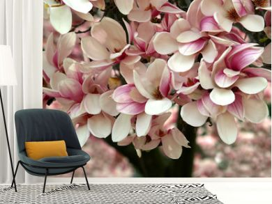 magnolia tree blooming in spring