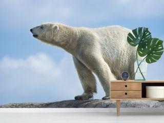 Polar bear walking on rocks