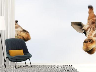 Two girafes