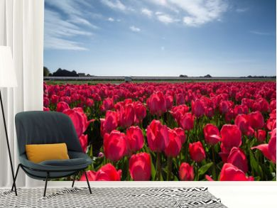 field of tulips with a blue sky