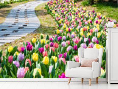 tulip flower field in spring