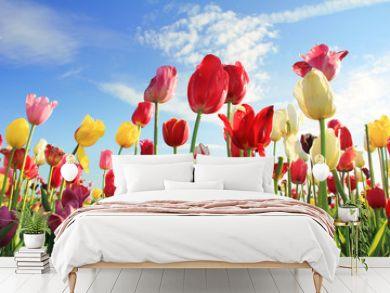 Leuchtendes Tulpenfeld und blauer Himmel
