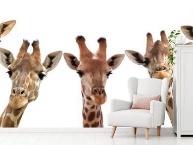 Giraffe heads isolated on white background