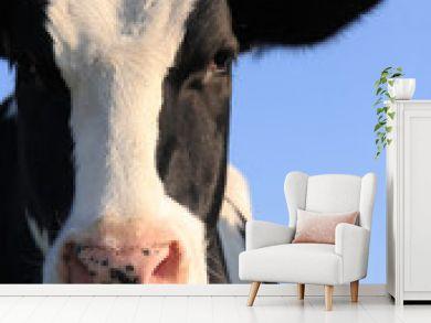 Portrait of Holstein cow