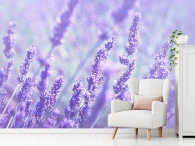 Violet lavender field at soft light effect for your floral background on horizontal web header or banner. Summer season in Provence - fresh lavanda flowers at pastel colors of ultraviolet tone.