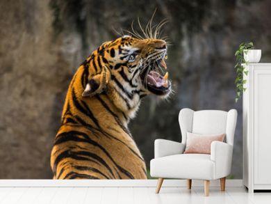Brüllender asiatischer Tiger Nahaufnahme
