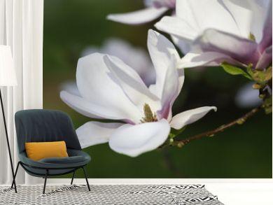 Beautiful Magnolia (Magnolie, Magnoliaceae), Lüneburg Heath, Northern Germany