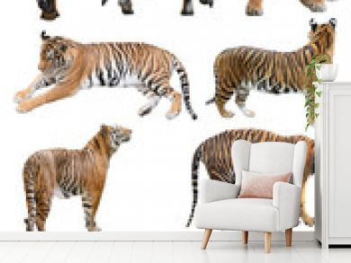 male and fefmale bengal tiger isolated