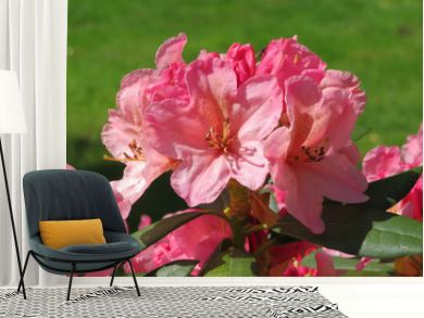 closeup of pink azalea in the garden