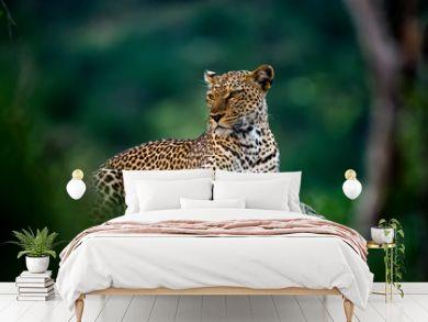 African leopard resting on rock hidden in bush. Amazing leopard in the nature habitat. Wildlife scene from Samburu  National Reserve, Kenya, Africa.  Panthera pardus pardus.