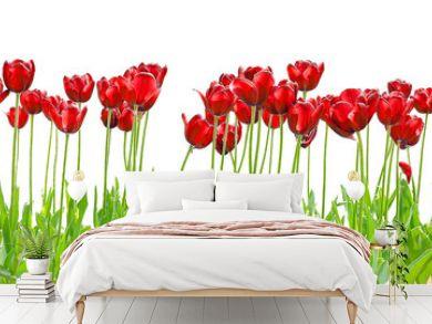 tulipe royale red