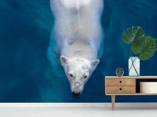 Swimming polar bear, white bear in blue water