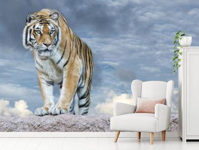 Siberian tiger ready to attack looking at you