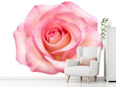 gentle pink rose isolated