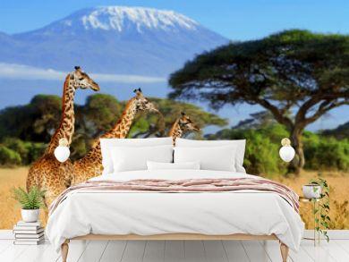 Three giraffe on Kilimanjaro mount background