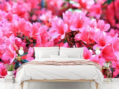 Pink azalea background.