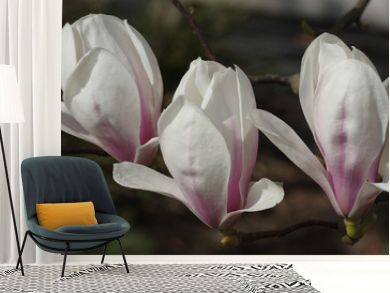 Flowering magnolia blossoms