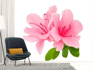 azalea flowers  isolated