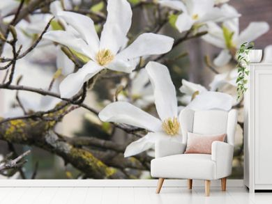 Pink or white flowers of blossoming magnolia tree (Magnolia stellata) in the springtime