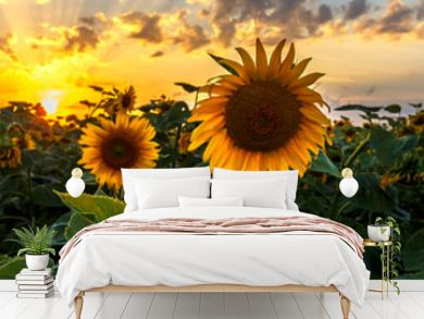 Summer landscape: beauty sunset over sunflowers field. Panoramic views