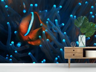 clown fish coral reef / macro underwater scene, view of coral fish, underwater diving