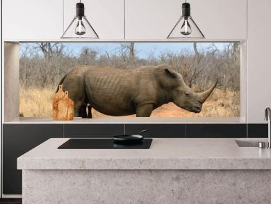 White rhino in Hlane Royal National Park, Swaziland
