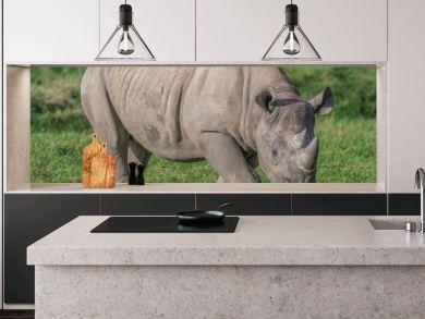 A full photograph of an eastern black rhino grazing