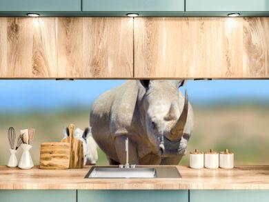 White rhinoceros in the nature habitat, Kenya, Africa