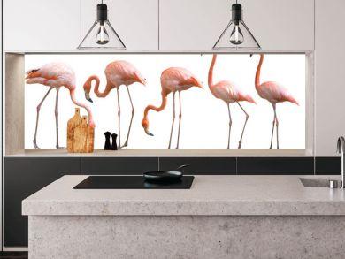Beautiful flamingo bird isolated