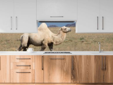 Two-humped Camel, Bactrian in nature, Kazakhstan
