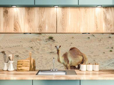 Desert landscape with Baby camel calf feeding on mother camel in arabian desert, Dubai. Travel safari background.