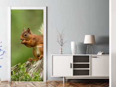 Red squirrel perched on a tree stump eating a hazelnut with a green bcakground.