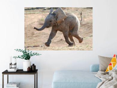 Baby Elephant Running
