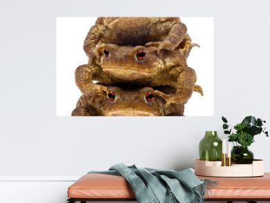 Three common toads or European toads, Bufo bufo, stacked