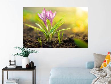 Purpul crocus flower