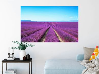 Lavender flower blooming fields on sunset. Valensole provence