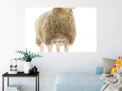 Sheep against white background