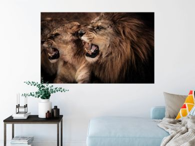 Close-up shot of roaring lion and lioness