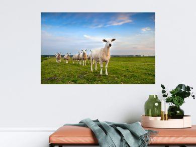 sheep herd on pasture