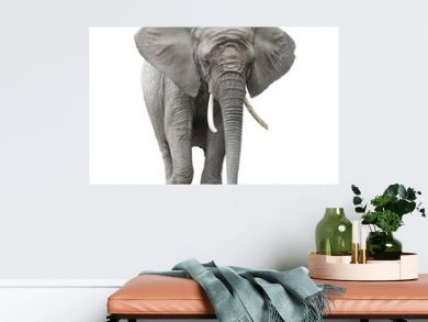 African elephant isolated on white with clipping path