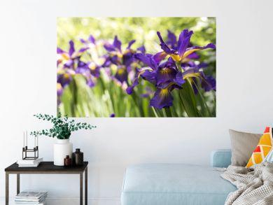 Purple Iris in full bloom