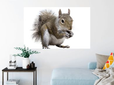 Young squirrel with shells of sunflower seeds on a white backgro
